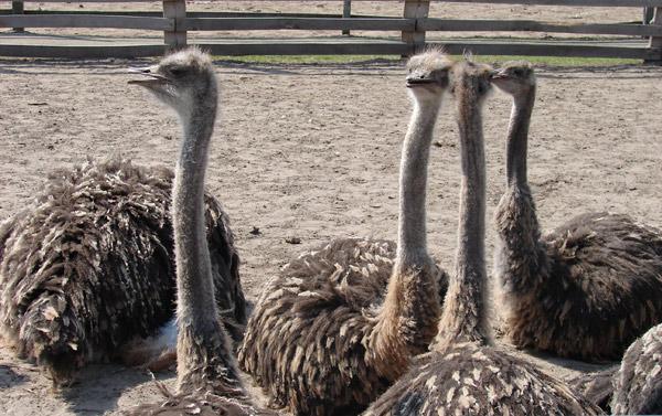 На страусиной ферме отпраздновали Пасху. Фото: Елена Балакина/ The Epoch Times