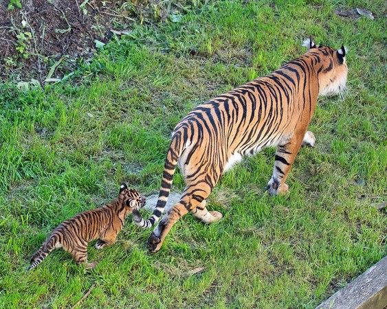 Тигриця Леанна з тигреням у зоопарку Сан-Франциско. Фото: Marianne Hale/sanfranzoo/facebook.com