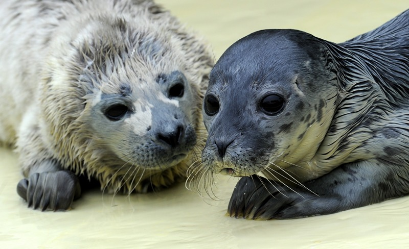 Фрідрікског, Німеччина, 27 травня. Двох дитинчат тюленів, знайдених на березі острова Гельголанд, прихистили на місцевій станції порятунку тварин. Фото: CARSTEN REHDER/AFP/Getty Images