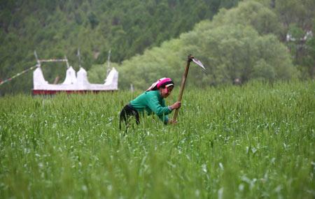 Крестьянка работает на пшеничном поле. Фото: China photos/ Getty image
