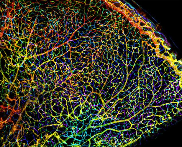 Мережа кровоносних судин в сітківці ока тритижневої миші. Фото: Michael Bridge/University of Utah, USA