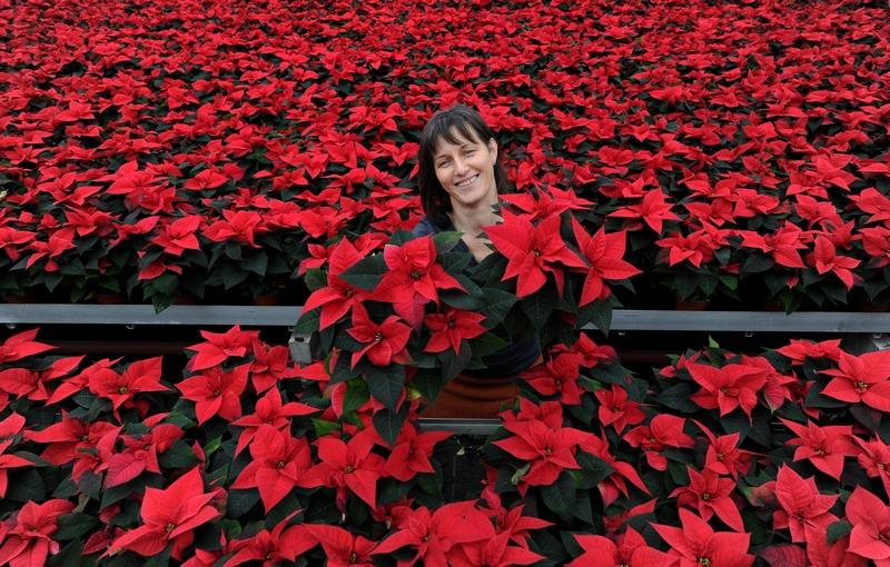 Гённебек, Германия, 21 ноября. Пуансеттия, или «рождественская звезда», является одним из самых любимых цветков в стране. Ежегодно в Германии покупают около 36 млн пуансеттий. Фото: CARSTEN REHDER/AFP/Getty Images