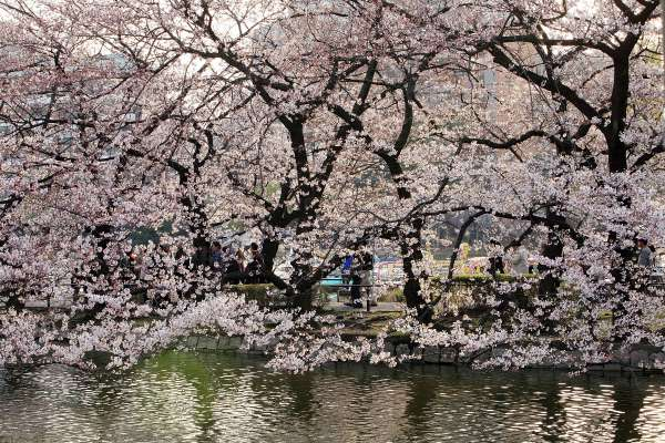 В середине весны расцвела азиатская вишня - сакура, её чудесные цветы и необыкновенный аромат пленят сердца людей. Фото: Getty Images