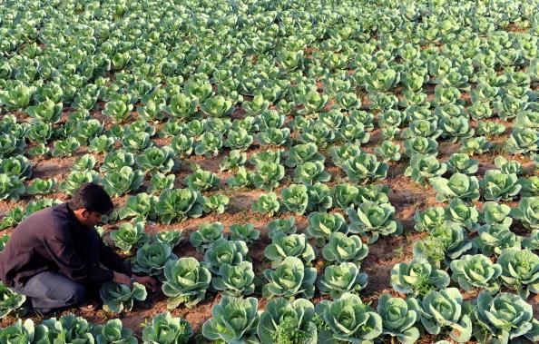На ферме в Индии испытывают разные методы органического выращивания культур. Фото: SAM PANTHAKY/AFP/Getty Images
