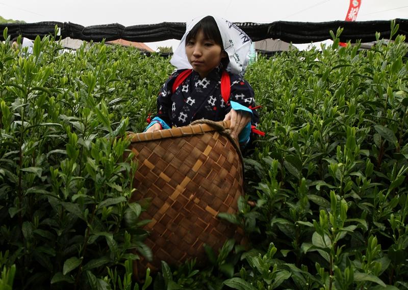 Удзі, Японія, 2 травня. Японка в національному костюмі збирає листя чаю під час фестивалю збирання чаю. Фото: Buddhika Weerasinghe/Getty Images