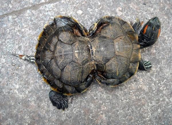 «Черепаха-тыква» из города Хуайбэй провинции Аньхой. Фото: The Epoch Times