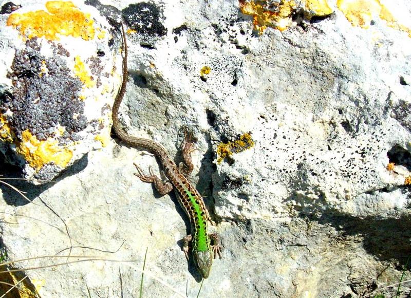 Ящірка пригрілася на сонці. Фото: Алла Лавриненко/Велика Епоха