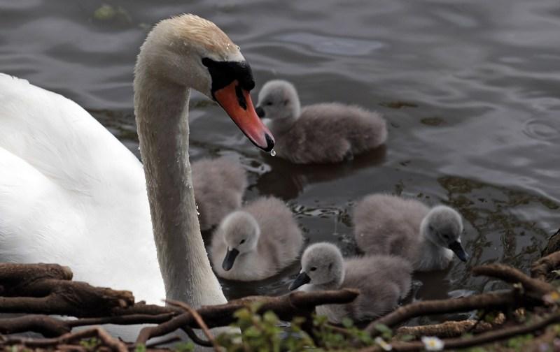 Лебедь-шипун с птенцами. Лебединый сад Эбботсбери, графство Дорсет, Англия. Фото: Matt Cardy/Getty Images