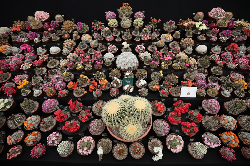 Кактусы на стенде от компании из Саутфилда (США) на выставке цветов в Челси. Фото: Oli Scarff/Getty Images