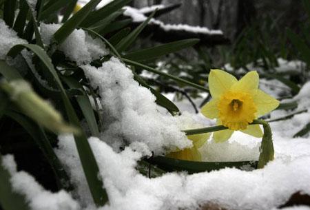 Чікаго. США. Блідо-жовті нарциси під танучим снігом. 11 квітня 2007 року. Фото: JEFF HAYNES/AFP/Getty Images