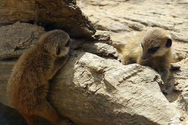 Сурикати в Лондонському зоопарку. Фото: Jeremy O'Donnell / Getty Images