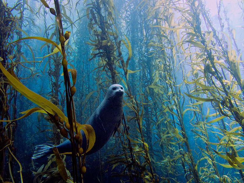 Тюлень обыкновенный в зарослях ламинарии. Номинация «Лучшее фото конкурса». Фото: Kyle McBurnie/rsmas.miami.edu