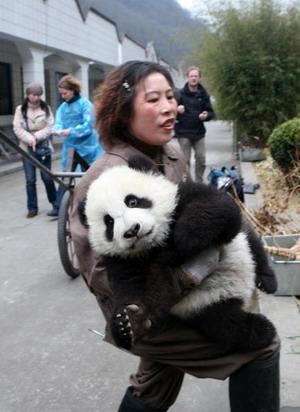 6-місячне дитинча панди. Фото: China Photos/Getty Images