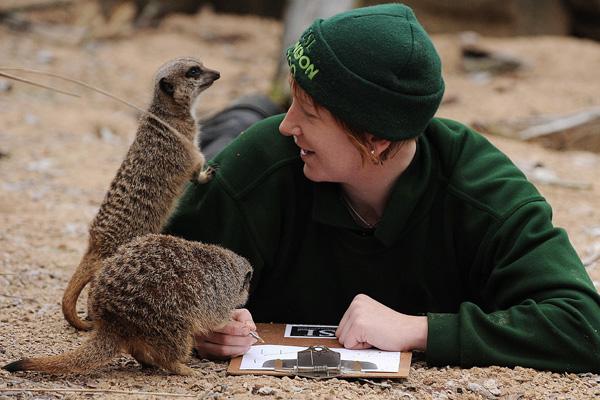 Сурикати під час проведення щорічної інвентаризації зоопарку. Фото: CARL DE SOUZA / AFP / Getty Images