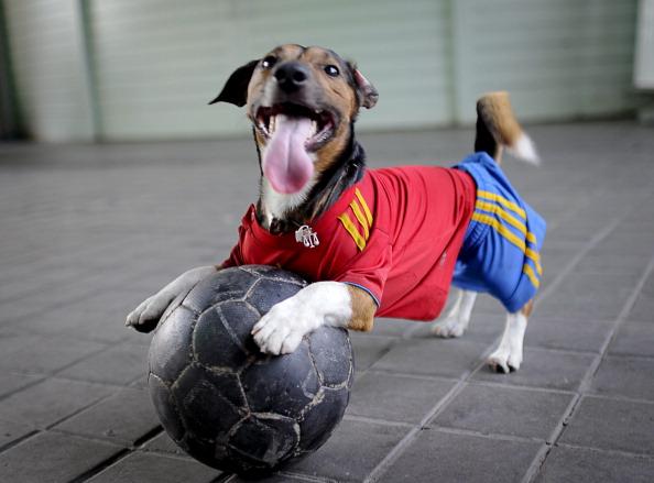 Собака, одягнена як уболівальник іспанської збірної, грає з м'ячем перед початком матчу Іспанія — Португалія 27червня 2012. Фото: Pedro ARMESTRE/AFP/Getty Images
