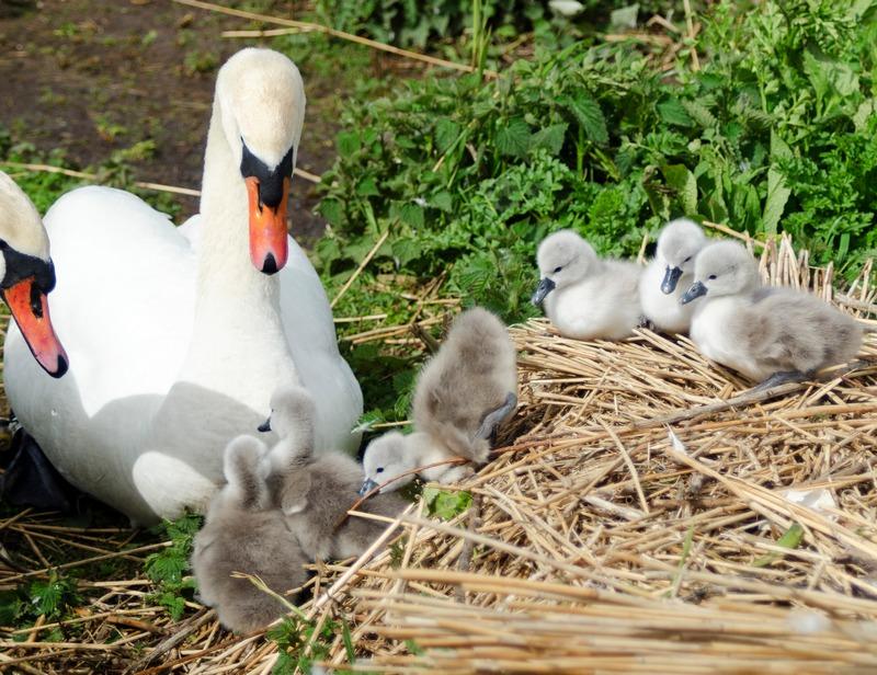 Первые шесть птенцов лебедя-шипуна в 2012году. Лебединый сад Эбботсбери, графство Дорсет, Англия. Фото: abbotsbury-tourism.co.uk