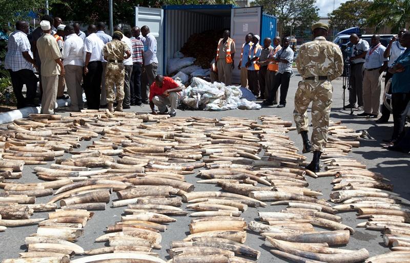 Момбаса, Кенія, 3 липня. Служба захисту дикої природи захопила прибулий з Уганди контейнер браконьєрів із 775 бивнями слонів загальною вагою 1294 кг. Фото: Ivan Lieman/AFP/Getty Images