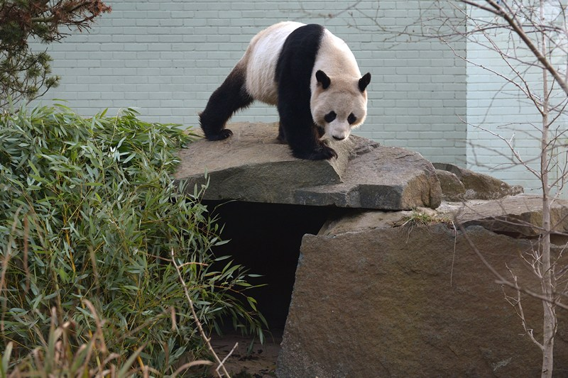 Большая панда Ян Гуан. Фото: Jeff J Mitchell/Getty Images