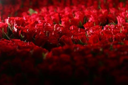 Миллион, миллион, миллион алых роз... Самый большой заказ на аукционе в Алсмеере был в размере 150 000 роз для леди в Дубае. Фото: Christopher Furlong/Getty Images