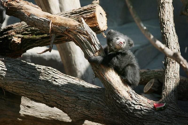 Медвежонок-губач в зоопарке Брукфилд. Фото: Scott Olson/Getty Images
