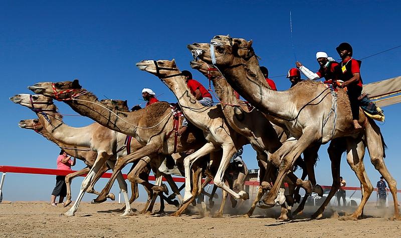 Мадінат-Зайєд, ОАЕ, 21грудня. Жокеї змагаються в перегонах на верблюдах, проведених в рамках щорічного фестивалю верблюдів. Фото: KARIM SAHIB/AFP/Getty Images