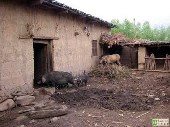 Животные часто забегают в комнаты людей в поисках еды. Провинция Сычуань. Фото с epochtimes.com