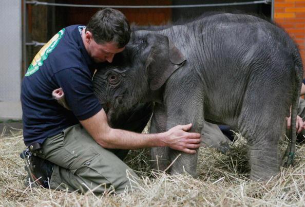В Мюнхенском зоопарке пополнение, вес новорожденного слоненка 112 кг.Германия. Фото: Alexandra Beier/Getty Images