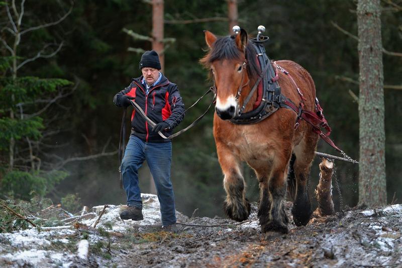 Крати, Шотландия, 11 декабря. Профессиональные лесорубы всё чаще стали использовать лошадей вместо машин для вывоза срубленных деревьев, чтобы свести к минимуму наносимый почве и растительности вред. Фото: Jeff J Mitchell/Getty Images