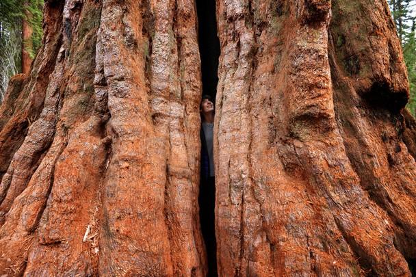 В сердце гигантской секвойи. Национальный парк Секвойя, США. Фото: Max Seigal/travel.nationalgeographic.com
