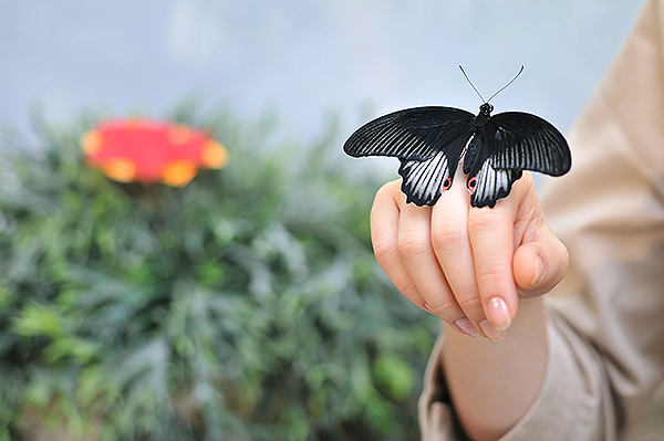 Коллекция живых тропических бабочек демонстрируется в Киеве 11 ноября 2010 года. Фото: Владимир Бородин/The Epoch Times Украина