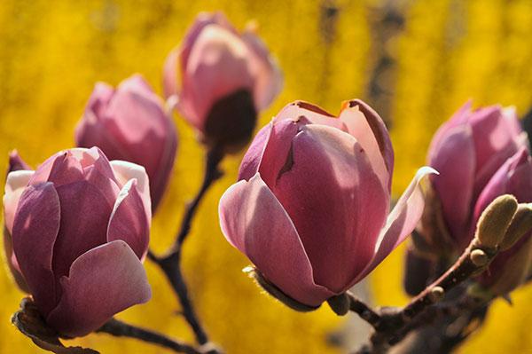 Магнолії цвітуть у ботанічному саду ім. Фоміна у Києві 25 квітня 2011 року. Фото: Володимир Бородін / The Epoch Times Україна