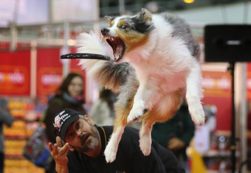 Берлін, Німеччина, 2листопада. Австралійська вівчарка з кличкою «Саміт» ловить «літальний диск» на виставці домашніх тварин. Фото: Sean Gallup/Getty Images
