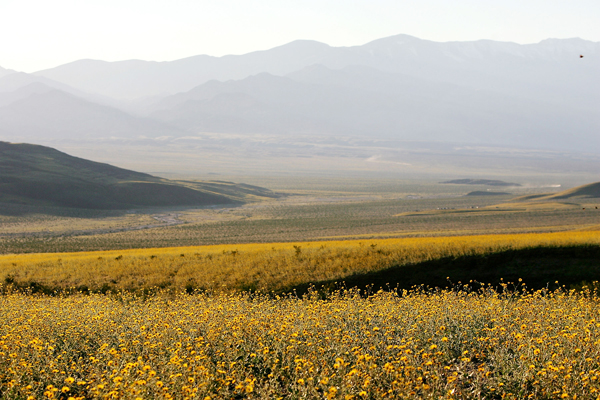 Полевые цветы расцветают в Долине Смерти после сильных дождей, прошедших в этом регионе. Фото: David McNew/Getty Images