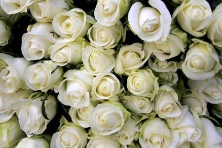 В преддверии Дня Святого Валентина розы высшего качества на аукционе цветов в городе Алсмеере, Нидерланды (Aalsmeer, Netherlands) продают по цене 3 евро, в количестве 50 миллионов штук каждый день. Фото: Christopher Furlong/Getty Images