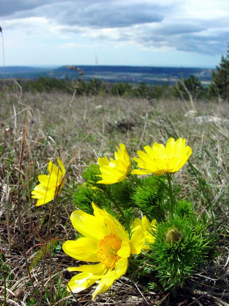 Квіти горицвіту. Фото: Алла Лавриненко/Велика Епоха