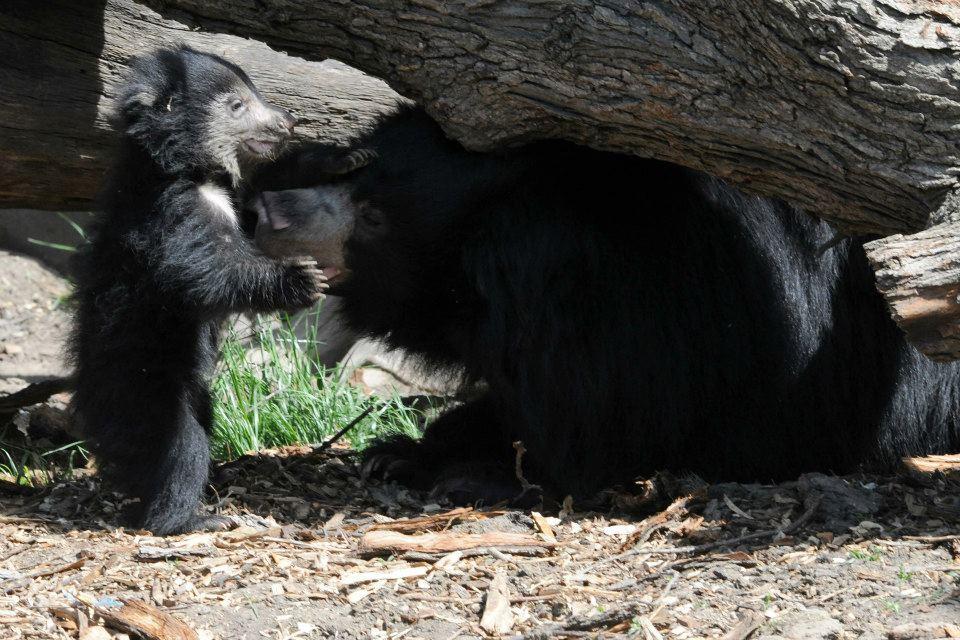 Медведица-губач Хани с медвежатами в зоопарке Брукфилд. Фото: BrookfieldZoo/facebook.com
