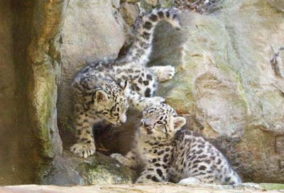 Самець та самка снігового леопарда народилися в жовтні від батьків Леона та Самарри у рамках програми розведення тварин у зоопарку Таронжа. Фото: Давід Ханкок/AFP/Getty Images