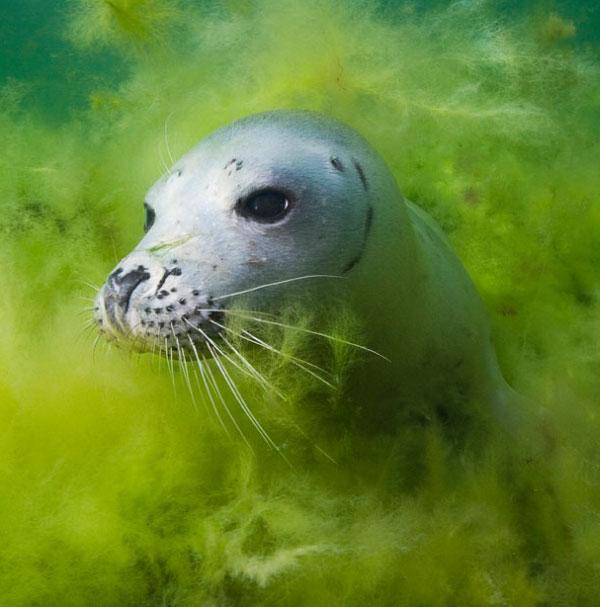 Фіналіст у групі Під водою: фотографія Кайдо Хааагена Хованки. Сірий тюлень на 2-метровій глибині поблизу острова Вілсанді, Естонія. Фото:pravda.com.ua