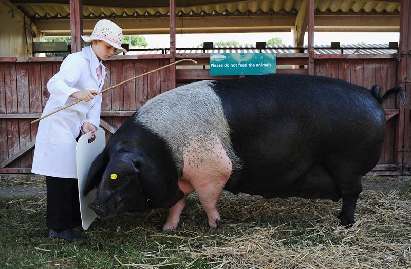 Харрогит, Англия, 9 июля. Победительница Большой Йоркширской сельскохозяйственной выставки, 9-летняя Джоли Мэтьюз, демонстрирует своего питомца. Фото: Ian Forsyth/Getty Images
