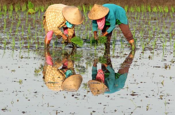 Отражение в воде. Посадка риса на полях Джокьякарты. Индонезия. Фото: Robson Barbosa/travel.nationalgeographic.com