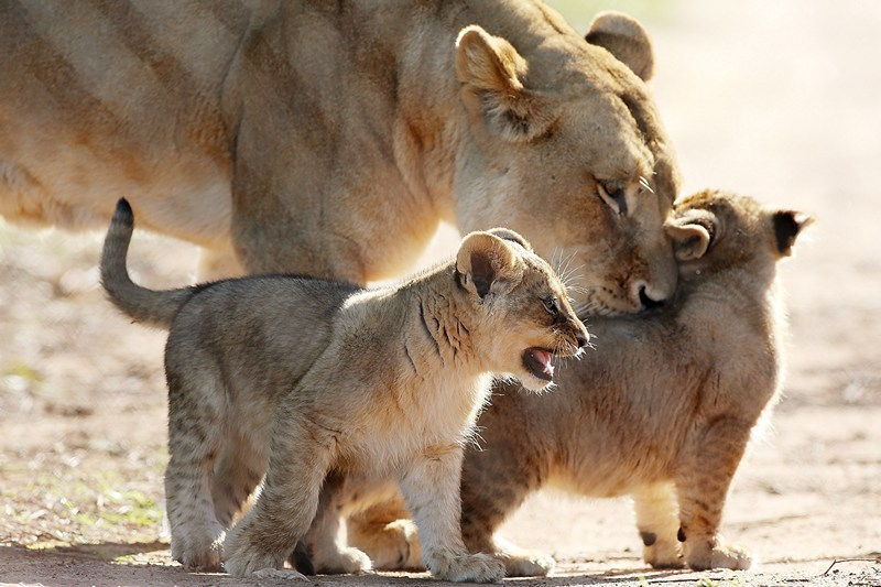 Аделаида, Австралия, 8 июля. Львята, появившиеся на свет 24 апреля в зоопарке Монарто, знакомятся с вольером. Фото: Morne de Klerk/Getty Images