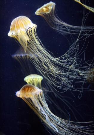 Длинные щупальца этих медуз оснащены тысячами яддовитых клеток-нематоцист, яд которых парализует добычу. Фото: GABRIEL BOUYS/AFP/Getty Images