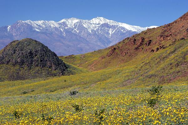 Польові квіти розцвітають в Долині Смерті після сильних дощів, що пройшли в цьому регіоні. Фото: David McNew/Getty Images