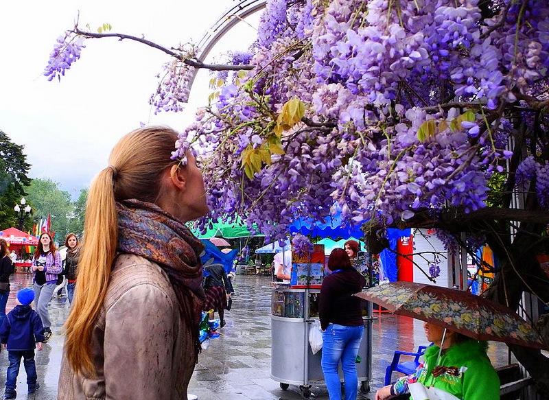 Весняна Ялта. Гліцинія. Фото: Алла Лавриненко/Велика Епоха