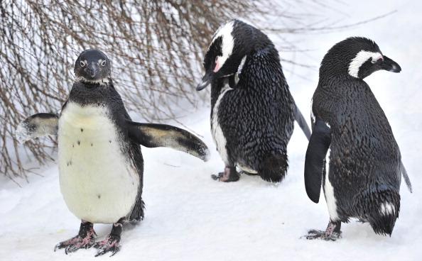 Пингвины - самые закаленные птицы. Фото:JOHN MACDOUGALL/Getty Images
