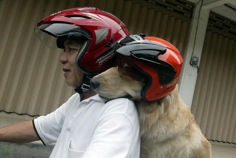 Сурабая, остров Ява, Индонезия, 2 марта. Бизнесмен и «собачник» Хандоко Ньотокусумо любит ездить по городу вместе со своим псом по кличке Ас. Фото: JUNI KRISWANTO/AFP/Getty Images