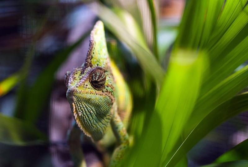 Хамелеон на ежегодном взвешивании и измерении животных в Лондонском зоопарке, Великобритания, 25 августа 2011 г. Фото: Oli Scarff/Getty Images