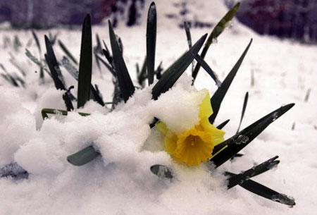 Чикаго. США. Бледно-желтые нарциссы под тающим снегом. 11 апреля 2007 года. Фото: JEFF HAYNES/AFP/Getty Images