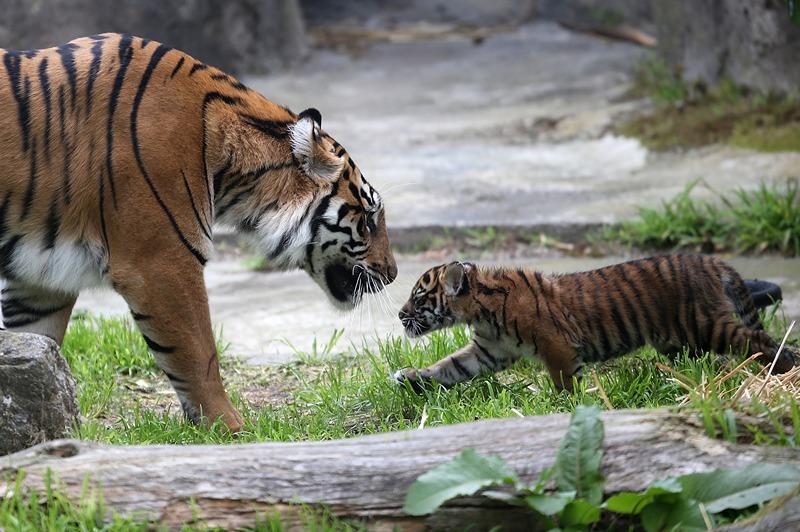 Сан-Франциско, США, 12 апреля. Двухмесячный суматранский тигрёнок играет со своей мамой Леанной. Фото: Justin Sullivan/Getty Images