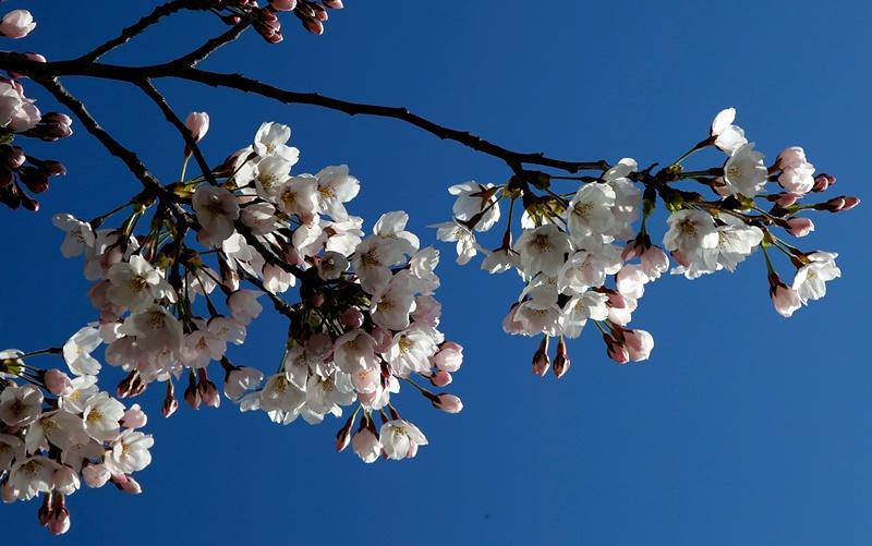 Вашингтон, США, 3 квітня. Через пізню весну сакура розквітла на 2 тижні пізніше звичайного терміну. Фото: Win McNamee/Getty Images